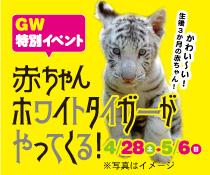 GW特別イベント 生後3カ月のかわいい 赤ちゃんホワイトタイガーがやってくる! 4/28~5/6